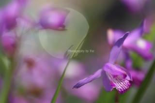 紫蘭(シラン)花言葉「楽しい語らい」「あなたを忘れない」